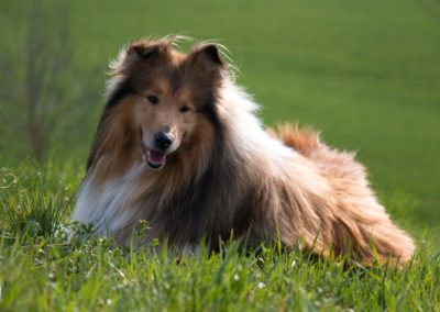 British Collie