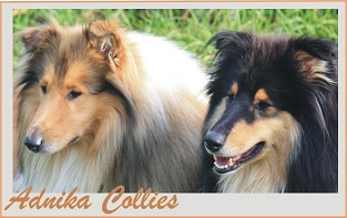 adnikas-collie